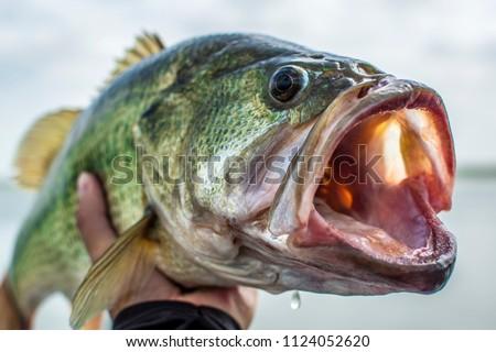 Big Bass Largemouth - Fishing #1124052620