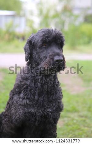 The big shaggy black dog sits on a green grass.  #1124331779