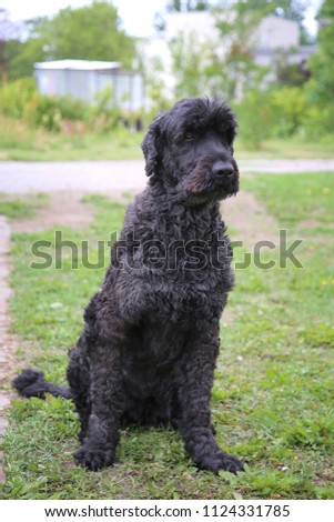 The big shaggy black dog sits on a green grass.  #1124331785