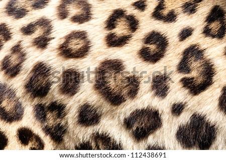 Real Live Leopard Fur Skin Texture Background Panthera Pardus Orientalis