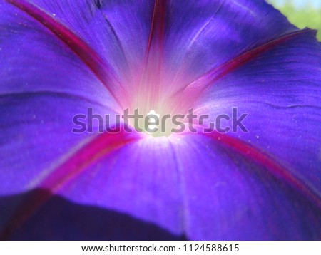 blue purple morning glory #1124588615