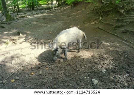 wild boar close up portrait while eating in woodland #1124715524