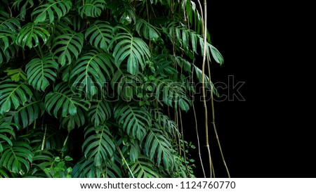 Green leaves of native Monstera (Epipremnum pinnatum) liana plant growing in wild climbing on jungle tree trunk, the tropical forest plant evergreen vines bush on black background with clipping path. #1124760770