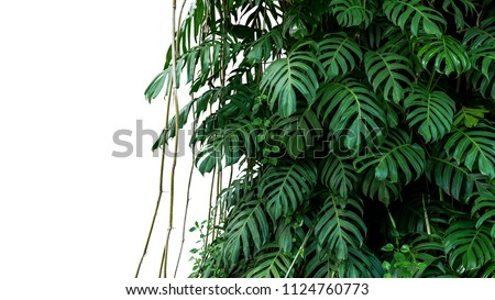 Green leaves of native Monstera (Epipremnum pinnatum) liana plant growing in wild climbing on jungle tree, tropical forest plant evergreen vines bush isolated on white background with clipping path. #1124760773