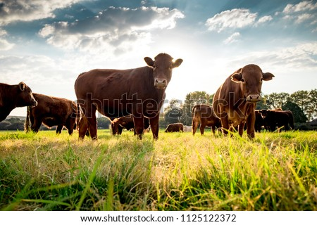 Beefmaster cattle standing in a green field Royalty-Free Stock Photo #1125122372