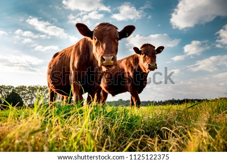 Beefmaster cattle standing in a green field Royalty-Free Stock Photo #1125122375