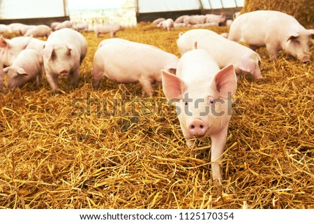 young piglet on hay at pig farm #1125170354