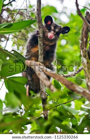 Big eared opossum photographed in Guarapari, Espirito Santo, Southeast of Brazil. Atlantic Forest Biome. Picture made in 2008.