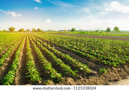 young eggplants grow in the field. vegetable rows. Agriculture, farming. farmlands. Landscape with agricultural land #1125338024