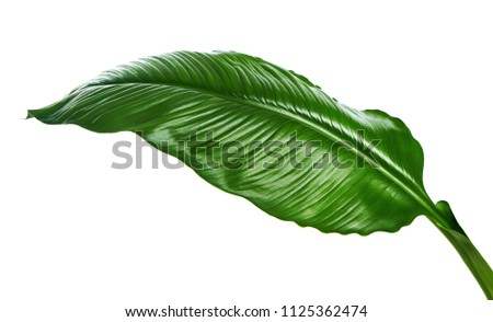 Large leaves of Spathiphyllum or Peace lily, Tropical foliage isolated on white background, with clipping path #1125362474