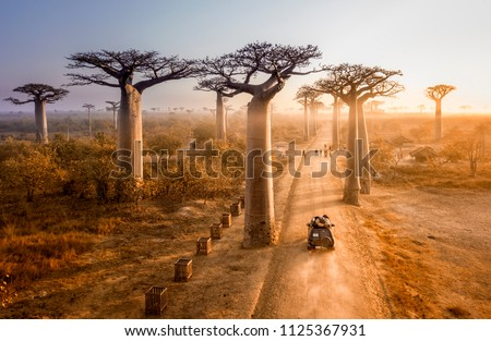 Beautiful Baobab trees avenue of the baobabs in Madagascar Royalty-Free Stock Photo #1125367931