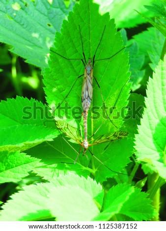 True cranefly, Tipula paludosa, #1125387152