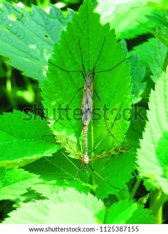 True cranefly, Tipula paludosa, #1125387155