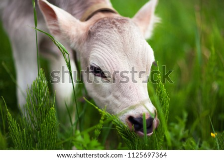 Cow Farm. Close up of calf head grazing at field. Cute face. Young dairy calf
