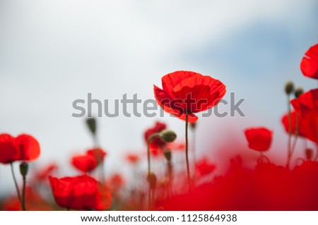 Red poppy flowers against the sky. Shallow depth of field