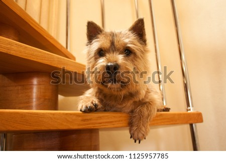 A small dog (Norwich Terrier) lies on a wooden staircase in the house and looks at the camera. #1125957785