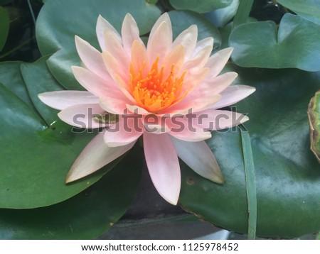 Pink lotus blooming in green garden #1125978452
