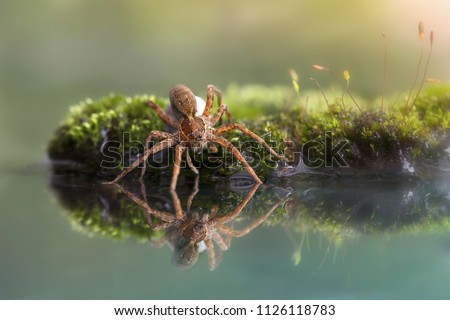 Wolf spider and egg wolf spider on the water