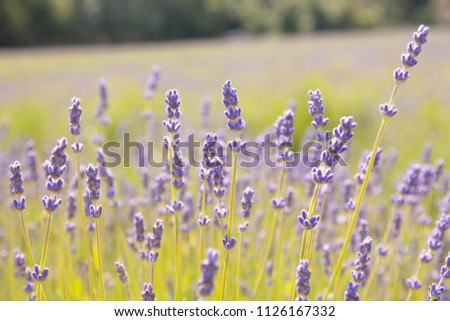close up lavender in England. #1126167332