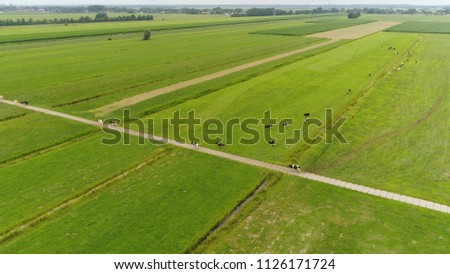Aerial picture of Holstein Friesians moving back to the farm byre they are breed of dairy cattle originating from the Netherlands they are known as worlds highest-production dairy animals #1126171724