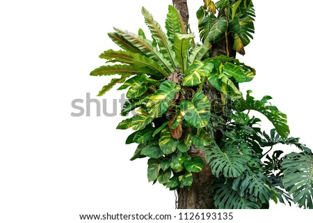 Rainforest tree trunk with tropical foliage plants, Monstera, golden pothos vines ivy, bird's nest fern, and orchid leaves isolated on white background with clipping path, rich biodiversity in nature. #1126193135