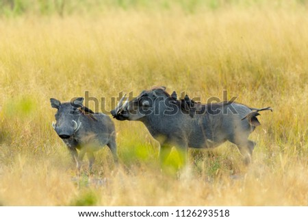 African pig Warthog in Moremi game reserve with birds on neck, Botswana safari wildlife #1126293518