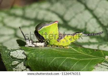 A Puss Moth Caterpillar (Cerura vinulais) resting on an Aspen tree leaf (Populus tremula) in woodland just after it has shed its skin. #1126476311