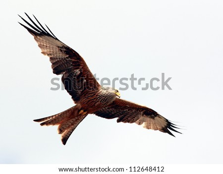 Red Kite in flight above the hills of Dumfrieshire, Scotland #112648412