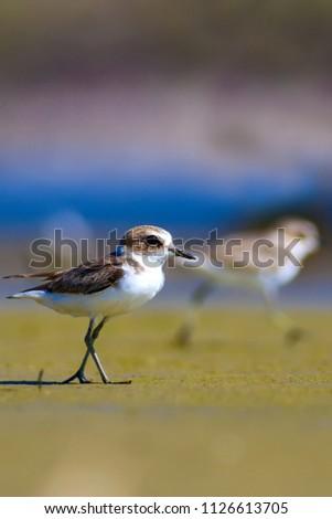 Cute bird and arid lake. Nature background.  #1126613705