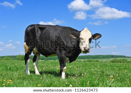 Cow on a summer pasture #1126623473