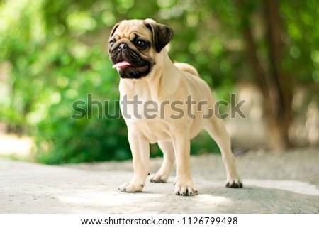 New born pug dog playing outdoors.Portrait of beautiful male Pug puppy dog.