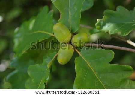 oak leaf and acorn #112680551