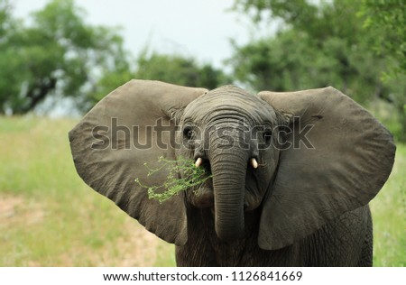 Baby elephant looks angry with grass in its moth, South Africa APNR. #1126841669