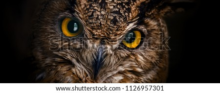 Yellow eyes of horned owl close up on a dark background.
