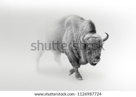 wild bison,buffolo walking out of the mist, digital wallpaper