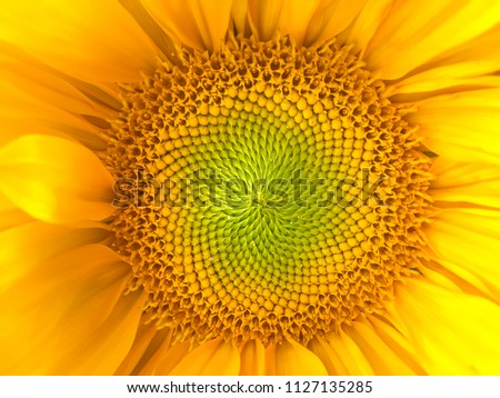 Sunflower natural background. Sunflower blooming. Close-up of sunflower. Sunflowers symbolize adoration, loyalty and longevity. #1127135285