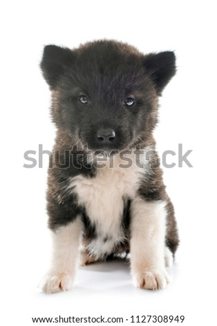 puppy american akita in front of white background #1127308949