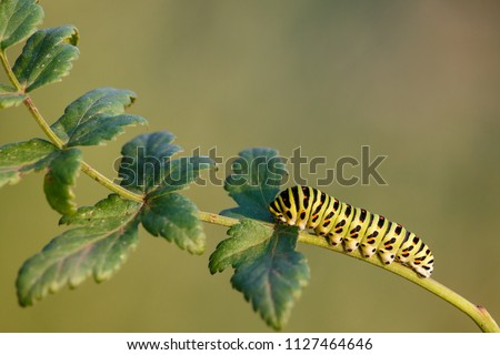Caterpillar of a common yellow swallowtail. Larva of Old World swallowtail (Papilio machaon) on green plant. Vivid green caterpillar with black and orange markings. Summer, Russia, Southern Urals. #1127464646