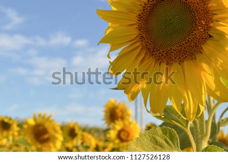 big and bealtiful sunflower in the middle of a field with blue sky #1127526128