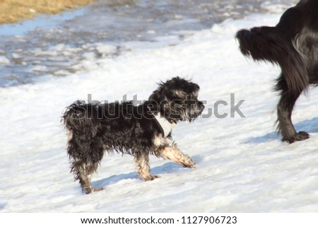 Small mixed breed dog walking up a snowy hill #1127906723