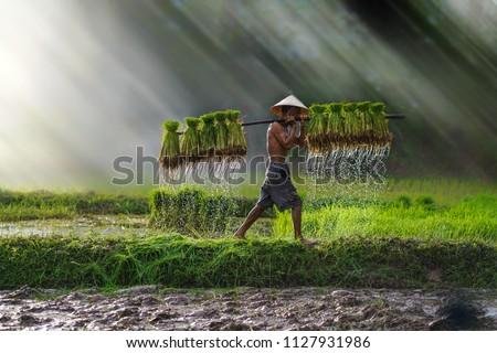 Vietnam farmer Bearing seedlings of rice to plant, Asian farmer Bearing rice seedlings on the back before the grown in paddy field, #1127931986