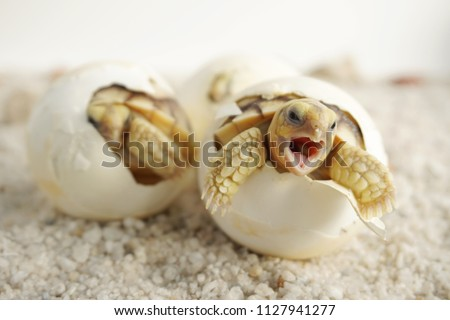 Close up Baby Tortoise Hatching (African spurred tortoise),Birth of new life, Cute baby Animal ,slow life ,Cute tortoise, Geochelone sulcata #1127941277