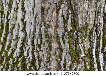 Bark of a nut tree with moss. Natural texture #1127969600
