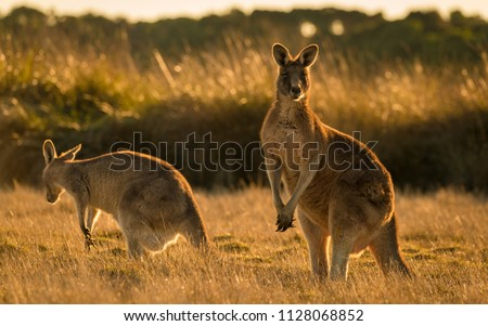Kangaroo in open field during a golden sunset