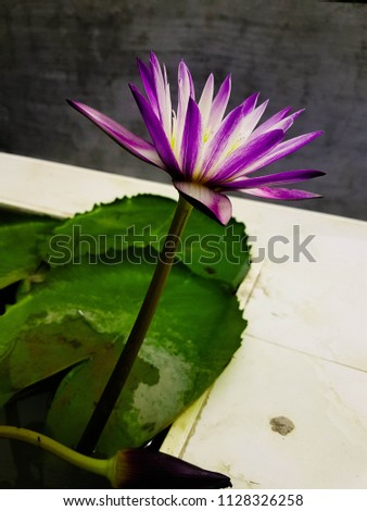 Lotus flower Purple pink with the morning light #1128326258
