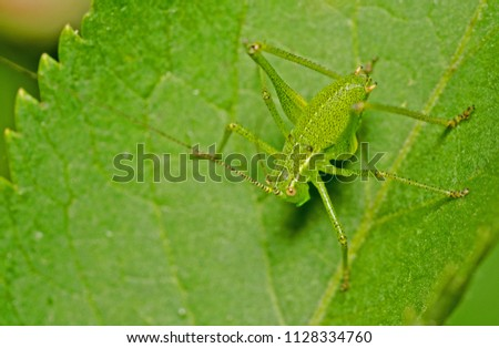 A close up image of a Katydid, called Bush Cricket in the UK. The scientific name is Tettigoniidae. This one was found in Kent, UK in July on an Elderberry  hedgrow shrub. #1128334760