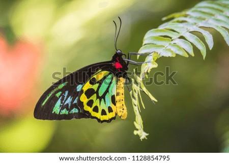 A male Cairns Birdwing butterfly at Kewarra Beach north of Cairns, Australia. #1128854795