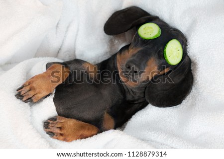 dog dachshund, black and tan, relaxed from spa procedures on face with cucumber, covered with a towel Royalty-Free Stock Photo #1128879314