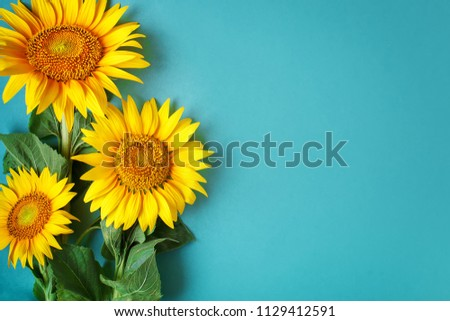 Beautiful sunflowers on blue background. View from above. Background with copy space.
