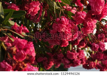 bougainvillea red flowers bushes .floral summer background #1129496126